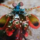 Peacock Mantis Shrimp Guy