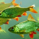 fishstiks
