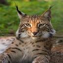 Lauter Cat